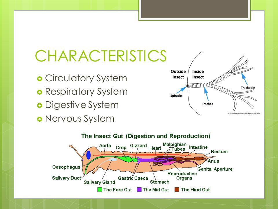 CHARACTERISTICS Circulatory System Respiratory System Digestive System