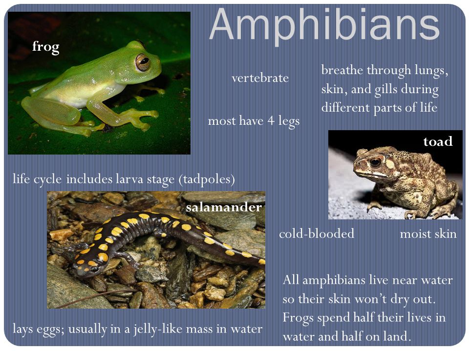 Amphibians frog breathe through lungs, skin, and gills during