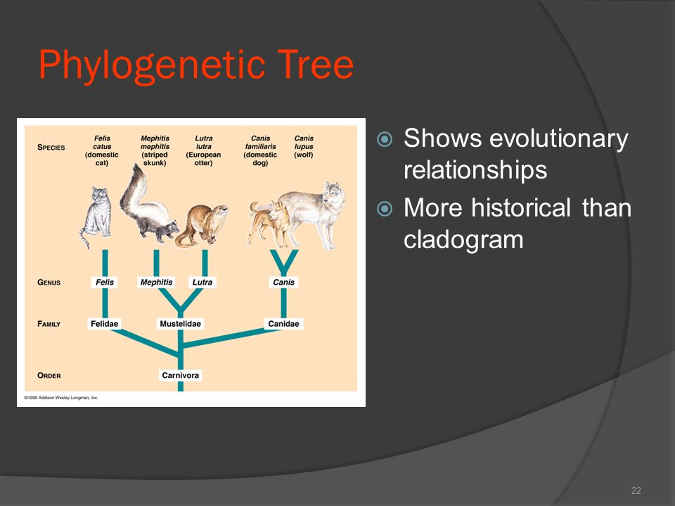 Phylogenetic Tree Shows evolutionary relationships