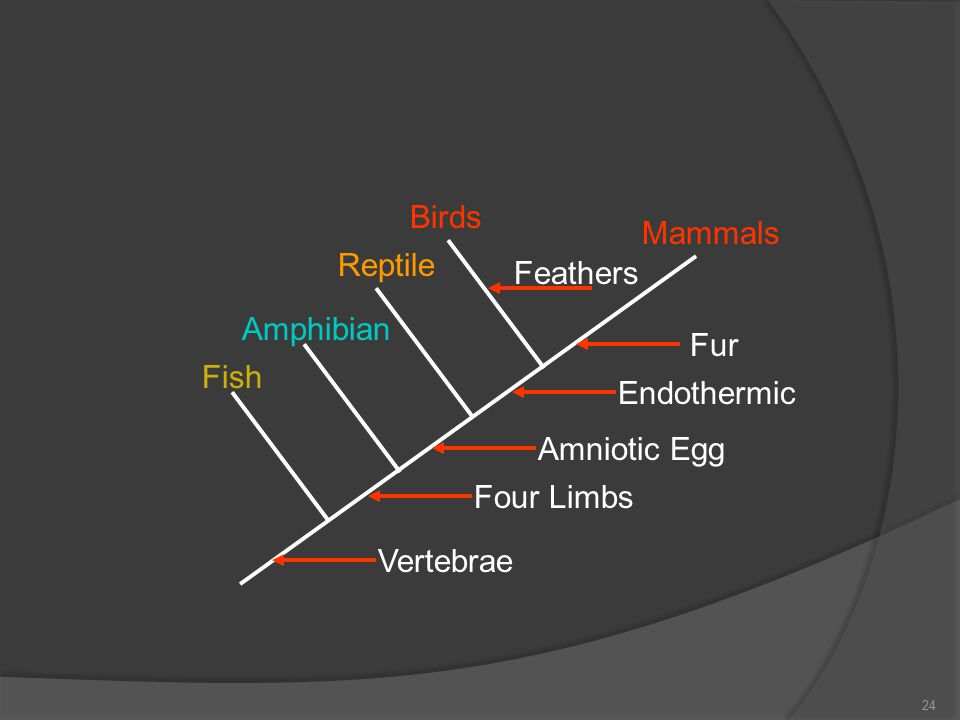 Birds Mammals Reptile Amphibian Fish Four Limbs Amniotic Egg Endothermic Fur Feathers Vertebrae