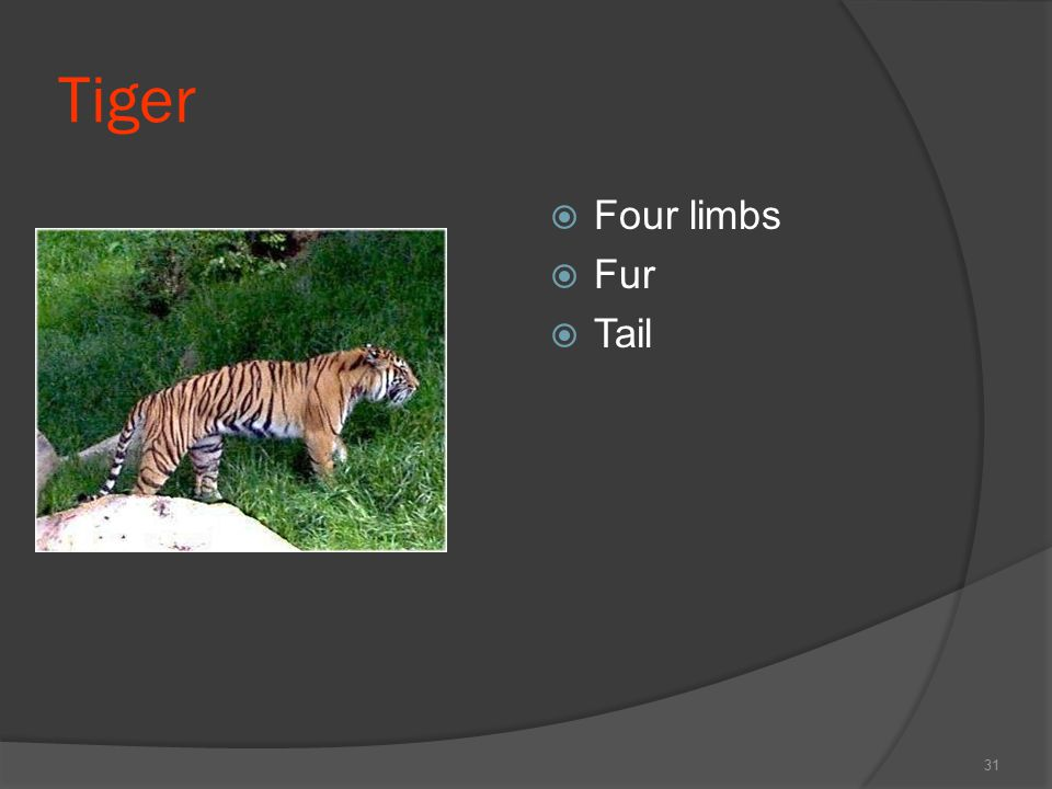 Tiger Four limbs Fur Tail