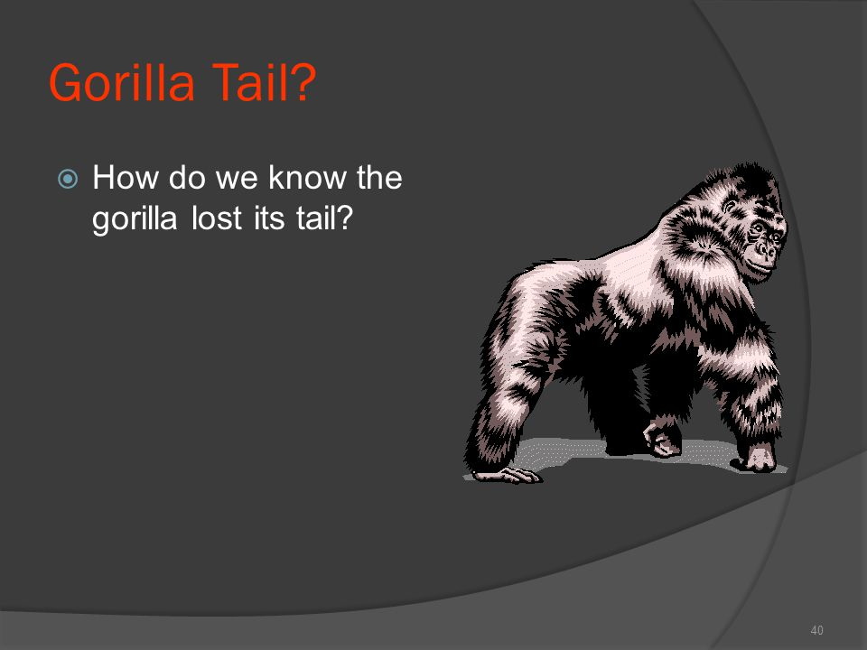 Gorilla Tail How do we know the gorilla lost its tail