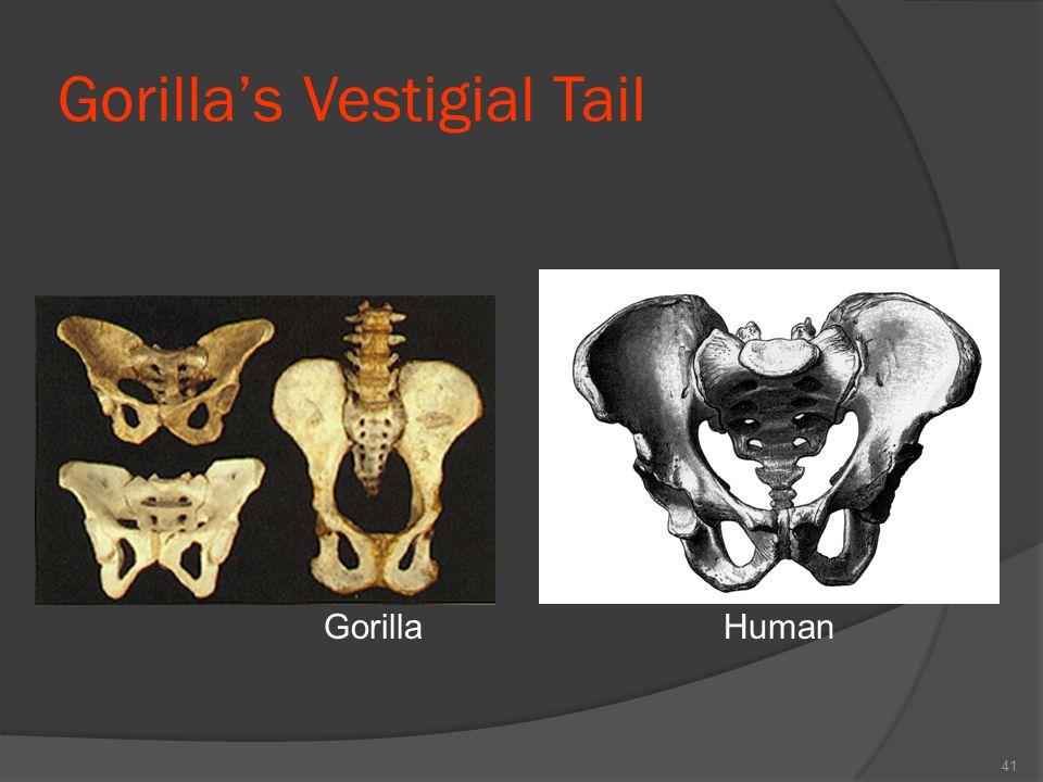 Gorilla's Vestigial Tail