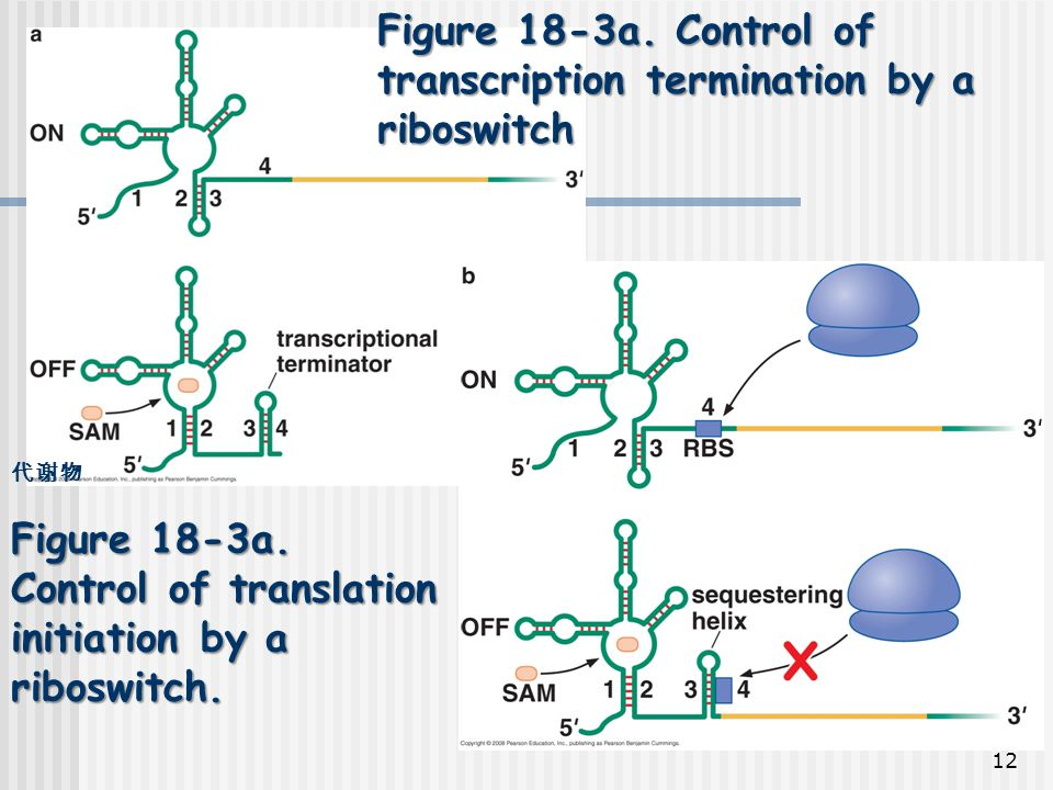 Figure 18-3a. Control of transcription termination by a riboswitch