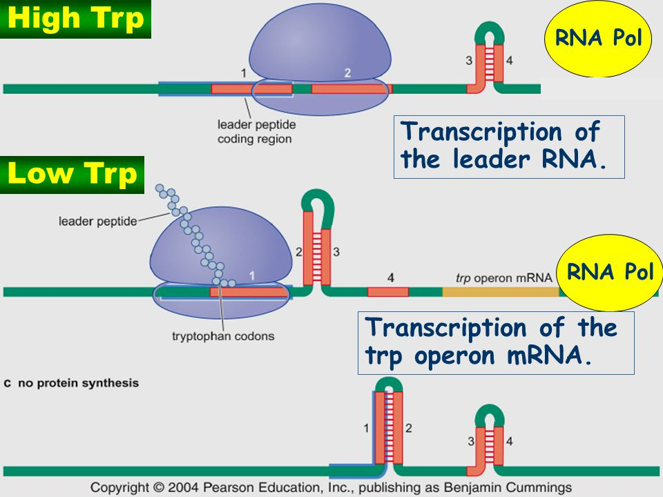 High Trp Low Trp Transcription of the leader RNA.