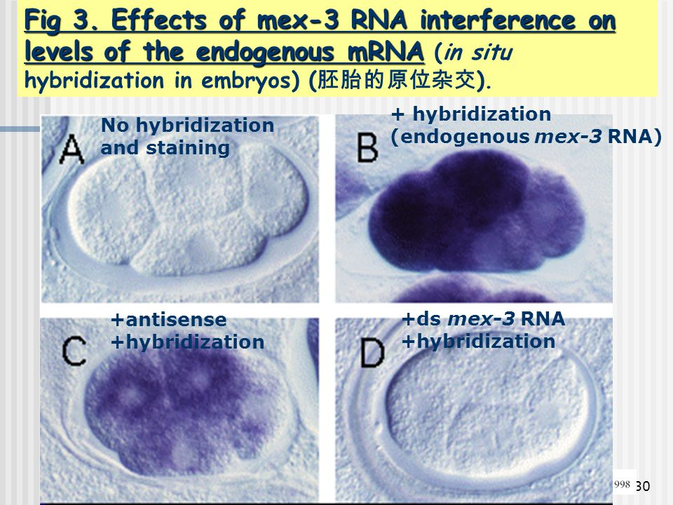Fig 3. Effects of mex-3 RNA interference on levels of the endogenous mRNA (in situ hybridization in embryos) (胚胎的原位杂交).