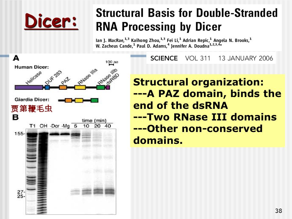 Dicer: Structural organization: