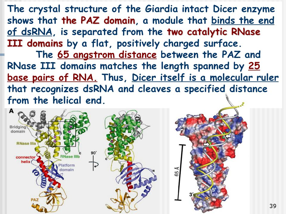 The crystal structure of the Giardia intact Dicer enzyme shows that the PAZ domain, a module that binds the end of dsRNA, is separated from the two catalytic RNase III domains by a flat, positively charged surface.