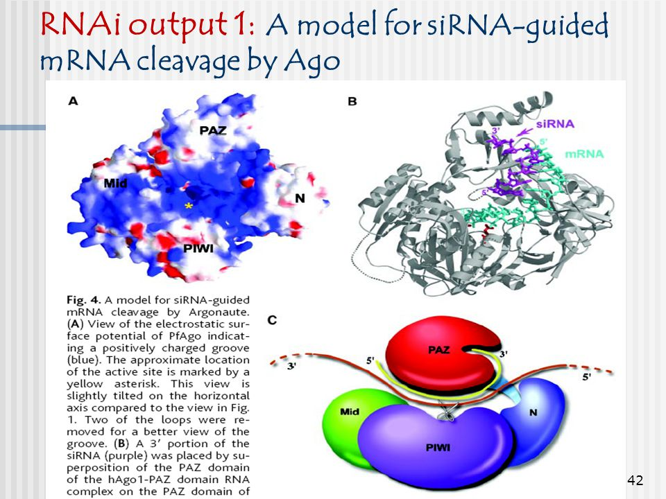 RNAi output 1: A model for siRNA-guided mRNA cleavage by Ago