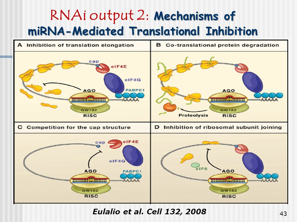 RNAi output 2: Mechanisms of miRNA-Mediated Translational Inhibition