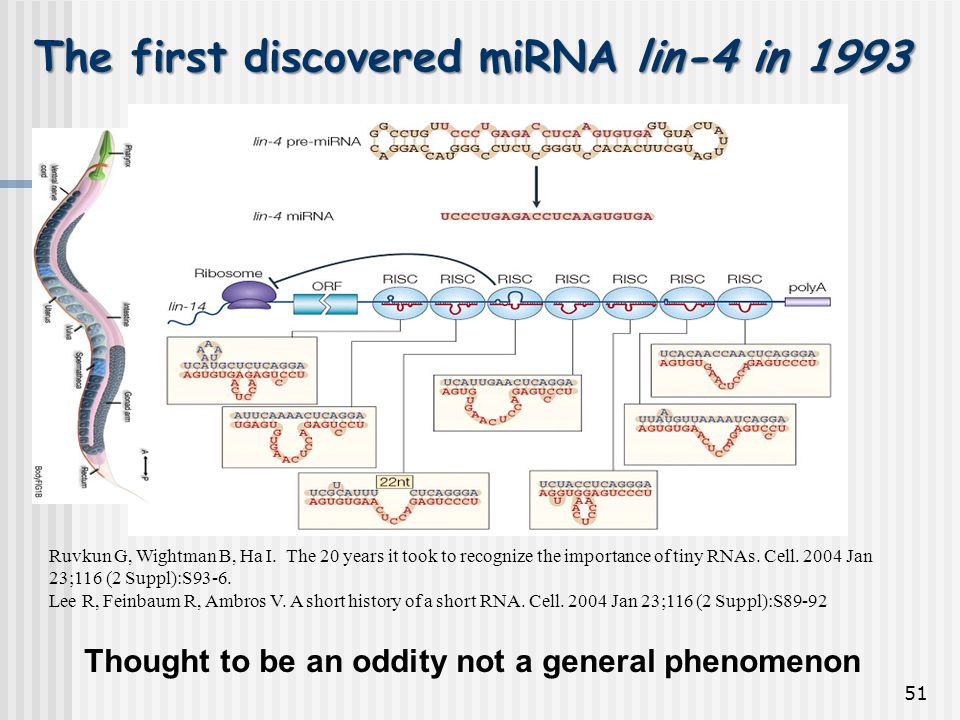 The first discovered miRNA lin-4 in 1993