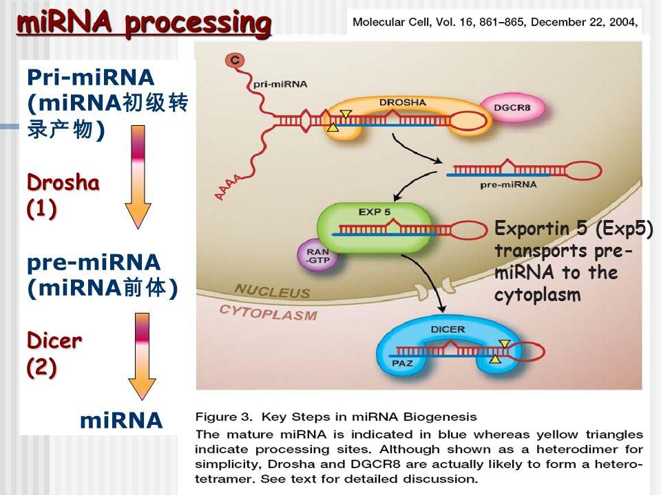 miRNA processing Pri-miRNA (miRNA初级转录产物) Drosha (1) pre-miRNA