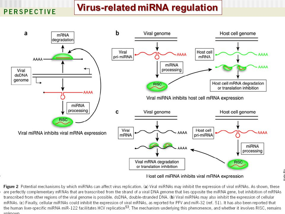 Virus-related miRNA regulation
