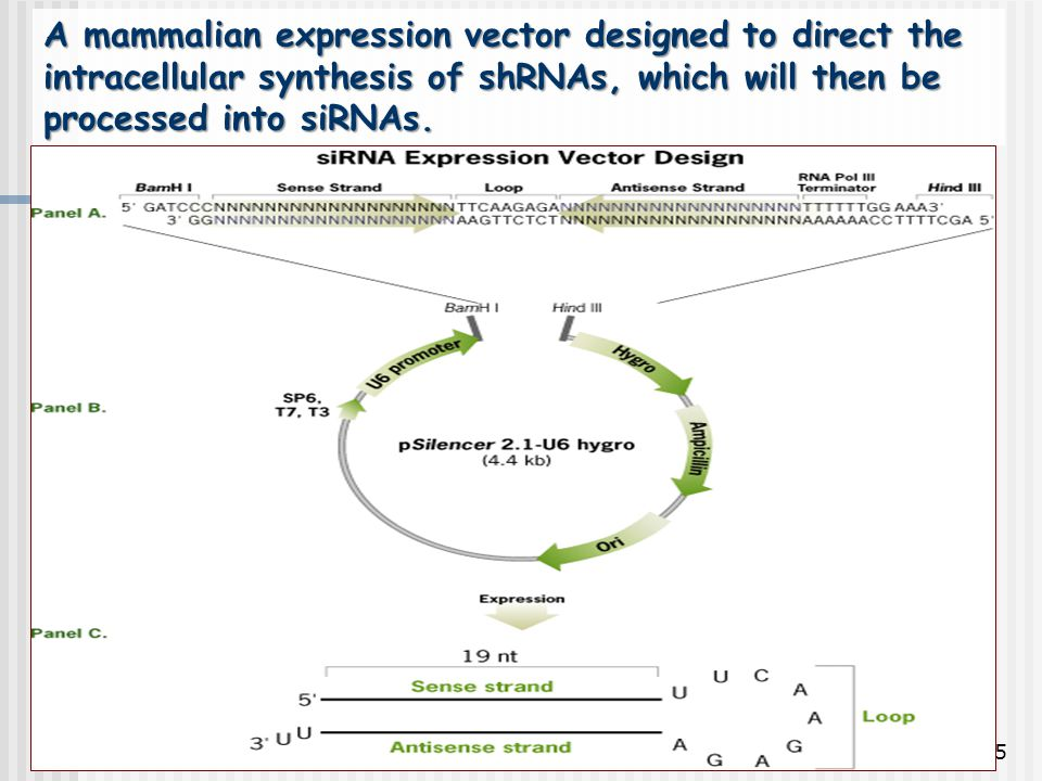 A mammalian expression vector designed to direct the intracellular synthesis of shRNAs, which will then be processed into siRNAs.