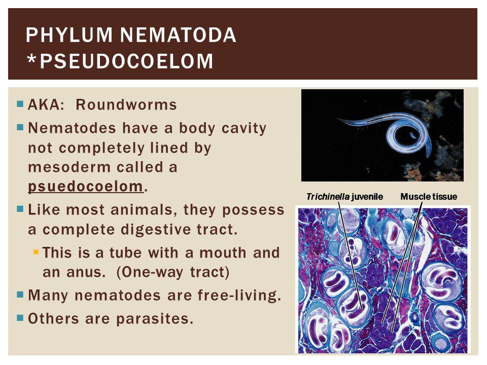 Phylum nematoda *Pseudocoelom