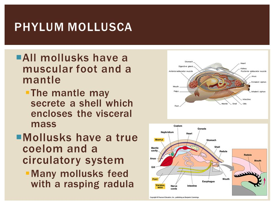 Phylum Mollusca Mollusks have a true coelom and a circulatory system