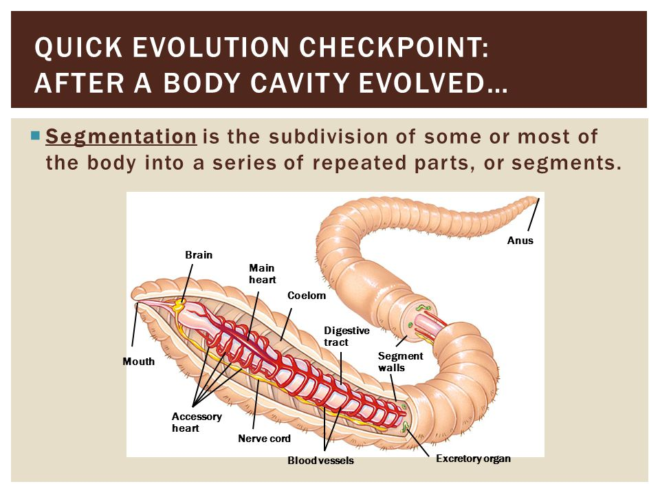 Quick evolution checkpoint: After a Body cavity evolved…