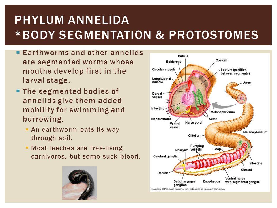 Phylum Annelida *body segmentation & protostomes