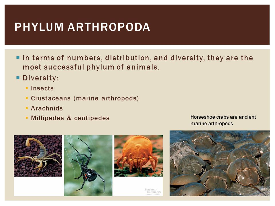 Phylum arthropoda In terms of numbers, distribution, and diversity, they are the most successful phylum of animals.