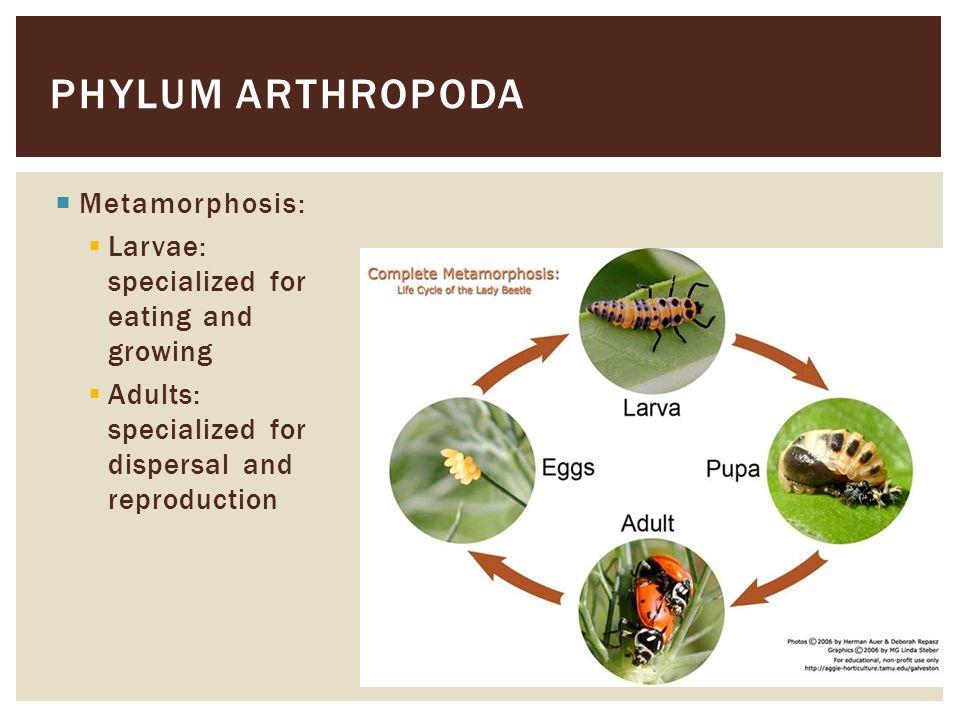 Phylum arthropoda Metamorphosis: