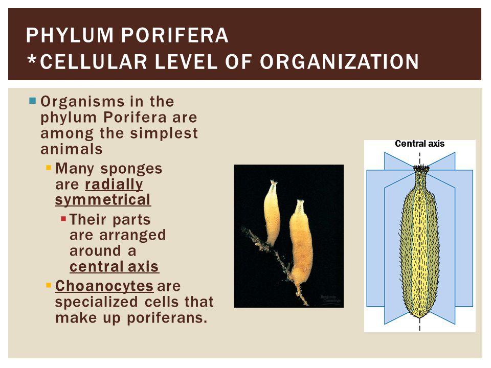 Phylum porifera *Cellular Level of Organization
