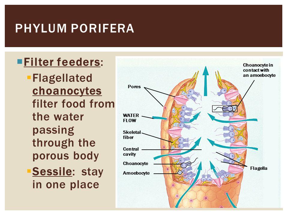 Phylum porifera Filter feeders: