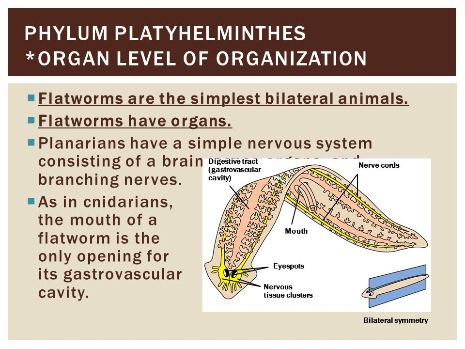 Phylum Platyhelminthes *Organ level of Organization