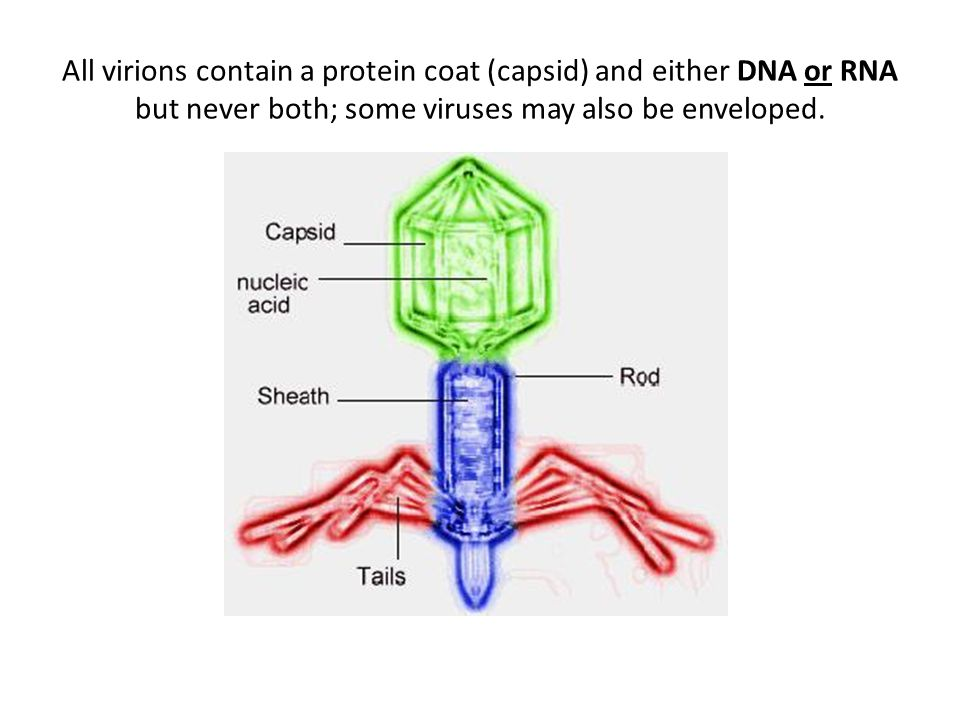 All virions contain a protein coat (capsid) and either DNA or RNA but never both; some viruses may also be enveloped.