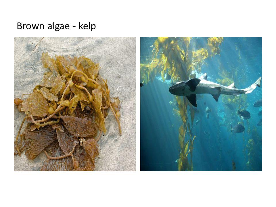 Brown algae - kelp