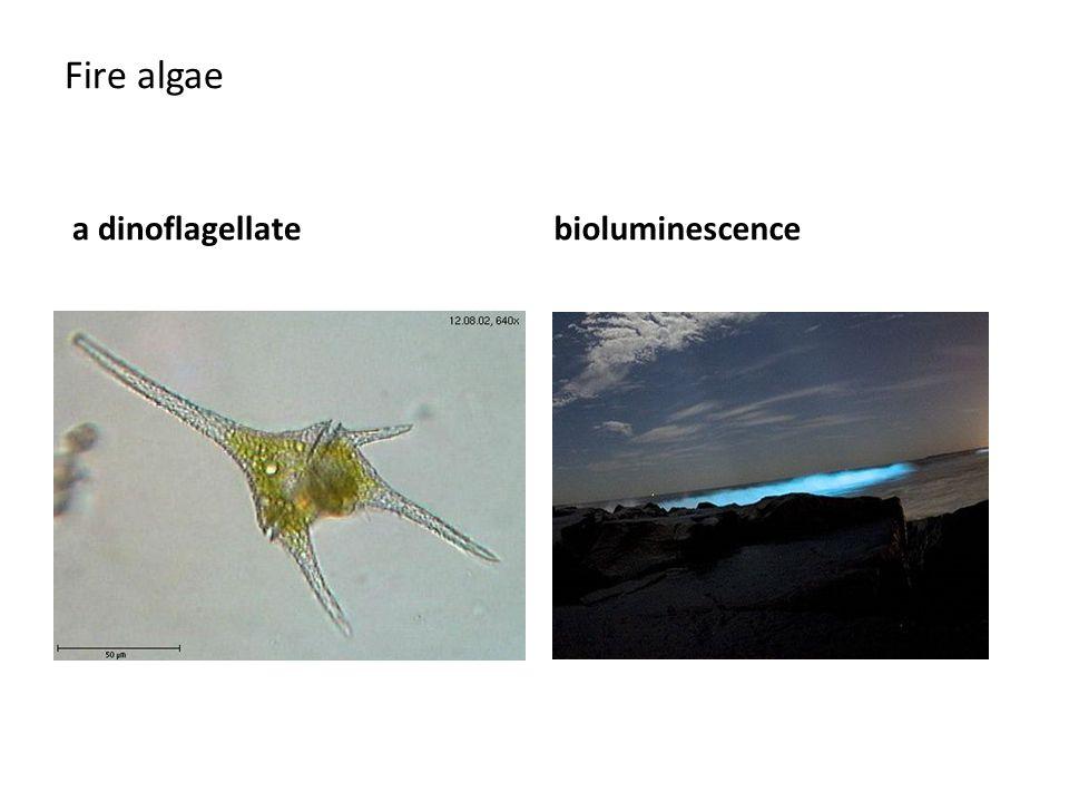 Fire algae a dinoflagellate bioluminescence