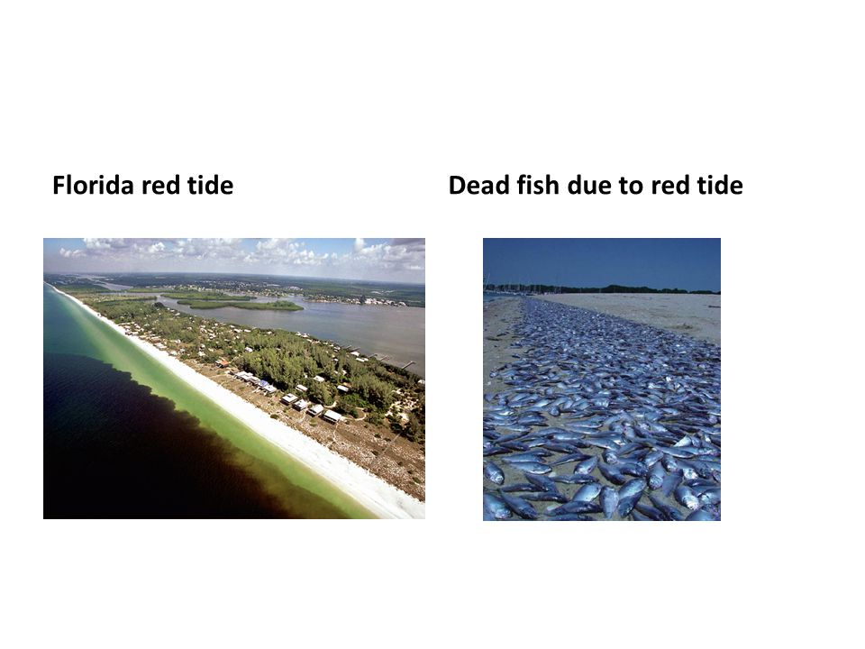 Dead fish due to red tide