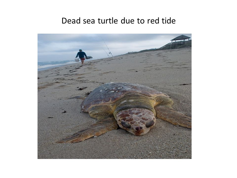 Dead sea turtle due to red tide