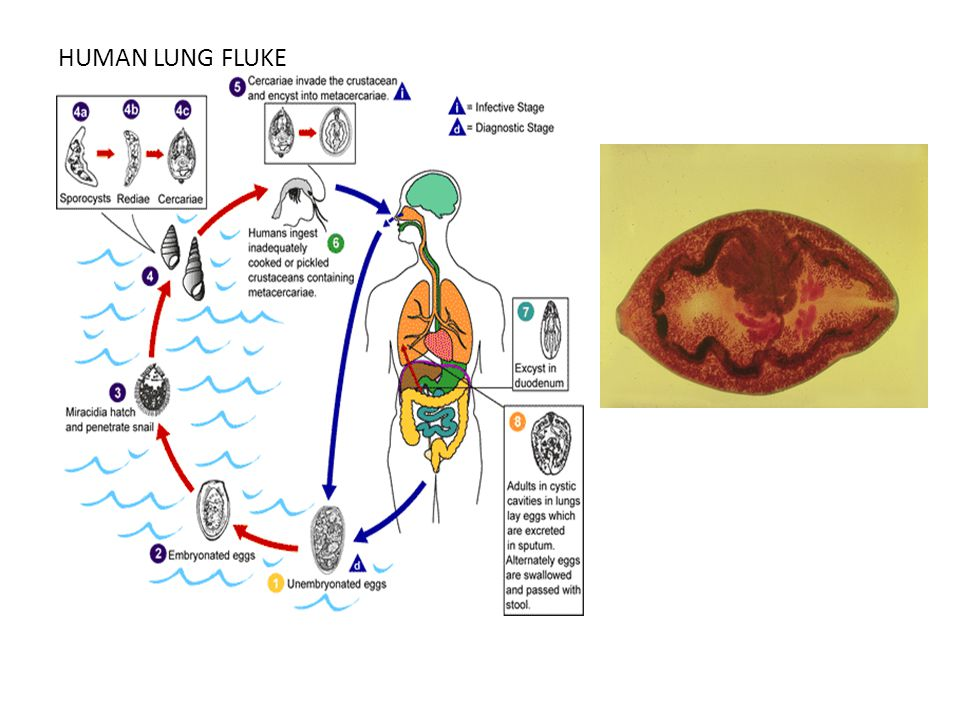 HUMAN LUNG FLUKE Paragonimus: parasitic lung fluke, most prominent in Asia and South America.