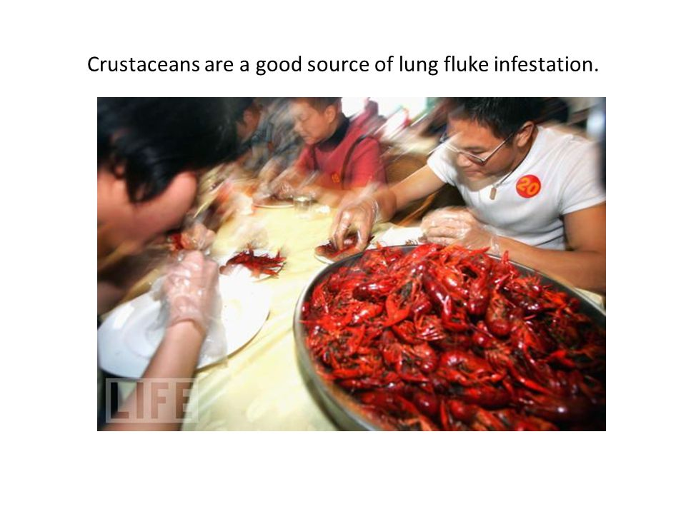 Crustaceans are a good source of lung fluke infestation.
