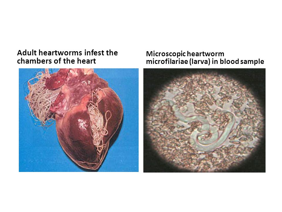 Adult heartworms infest the chambers of the heart
