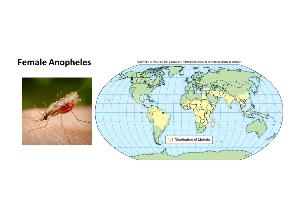 Female Anopheles