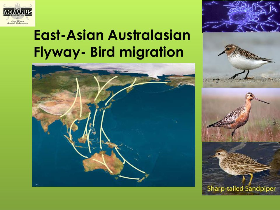 East-Asian Australasian Flyway- Bird migration