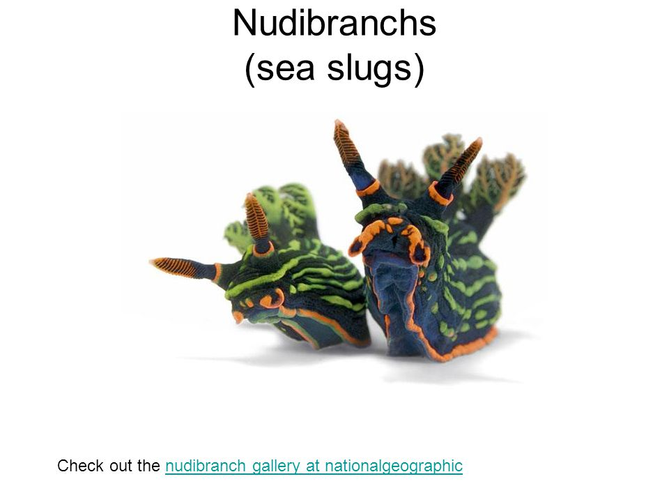 Nudibranchs (sea slugs)