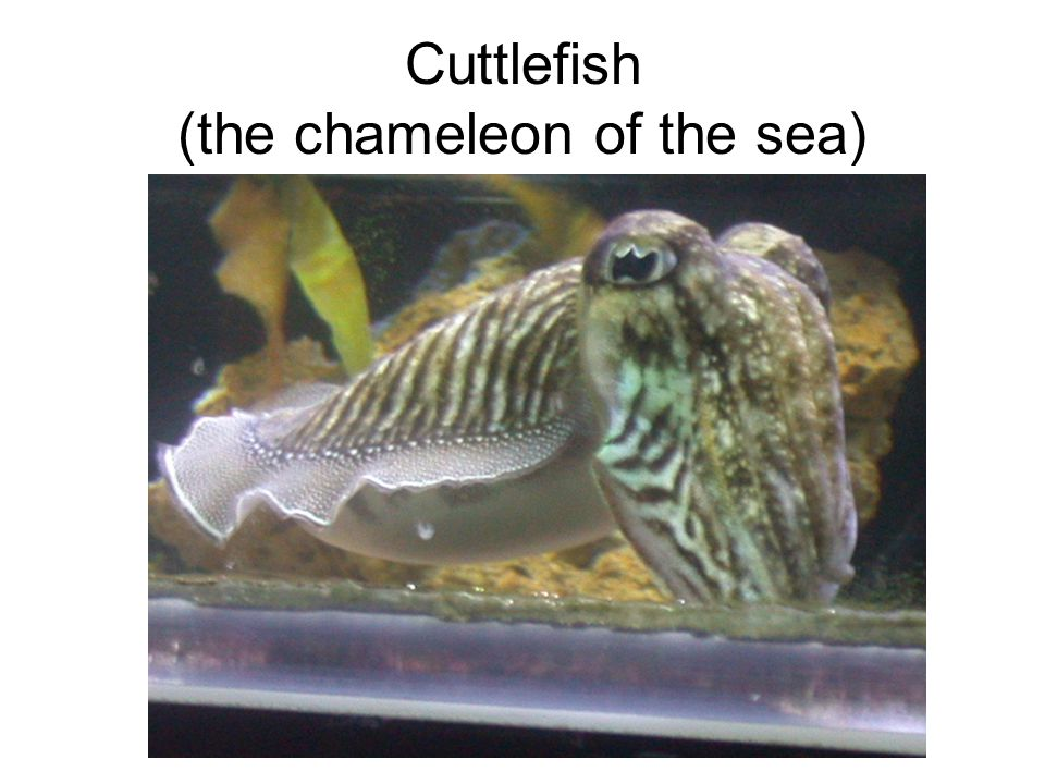 Cuttlefish (the chameleon of the sea)