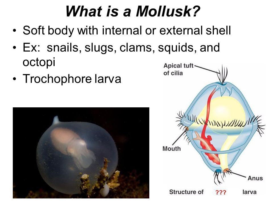 What is a Mollusk Soft body with internal or external shell
