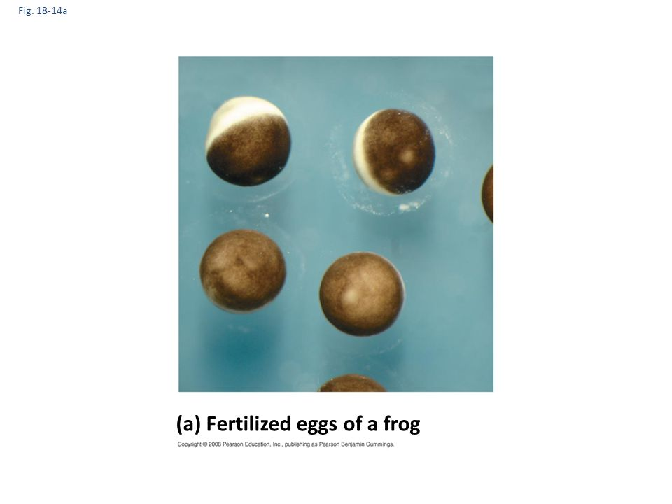 (a) Fertilized eggs of a frog