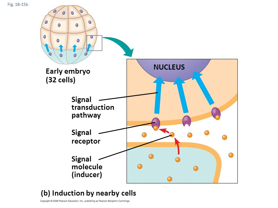(b) Induction by nearby cells