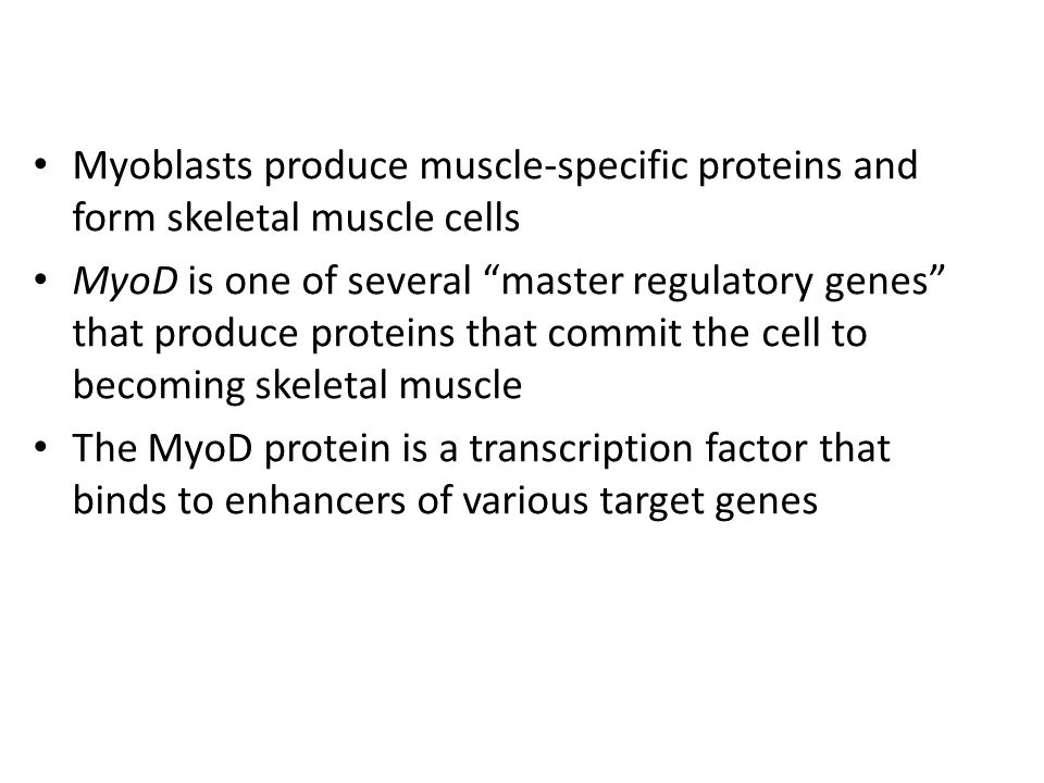 Myoblasts produce muscle-specific proteins and form skeletal muscle cells