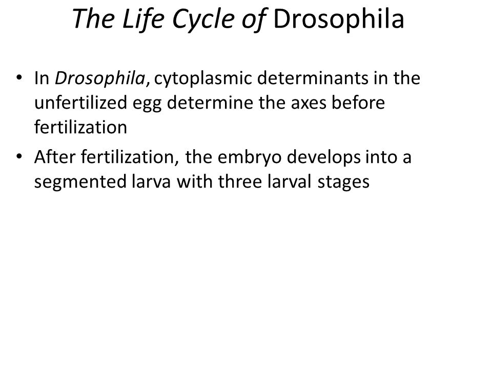 The Life Cycle of Drosophila