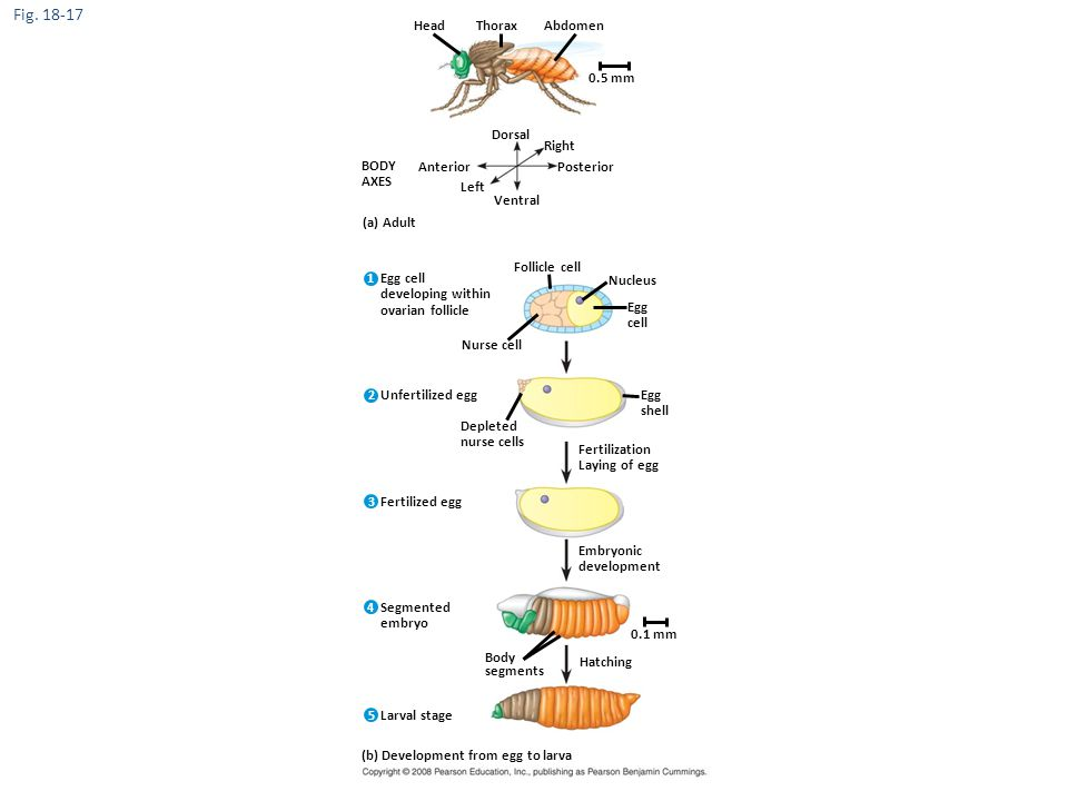 Figure 18.17 Key developmental events in the life cycle of Drosophila