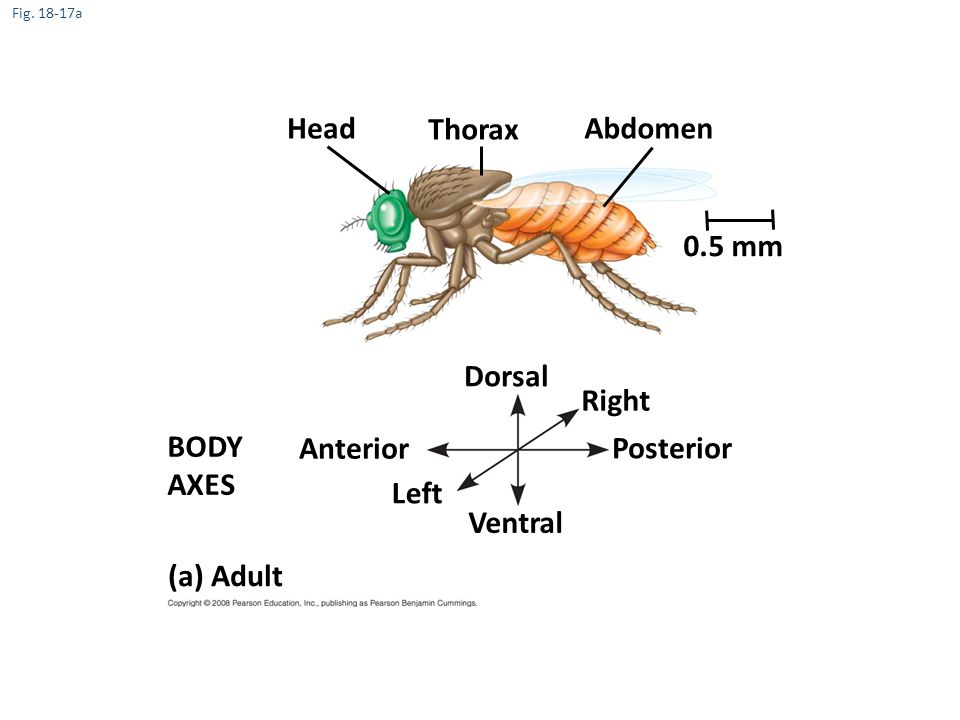 Head Thorax Abdomen 0.5 mm Dorsal Right BODY AXES Anterior Posterior