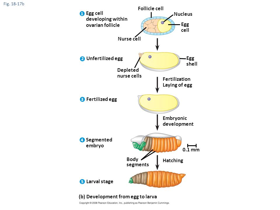 (b) Development from egg to larva