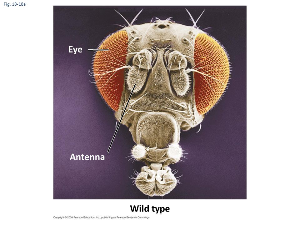 Eye Antenna Wild type Fig. 18-18a