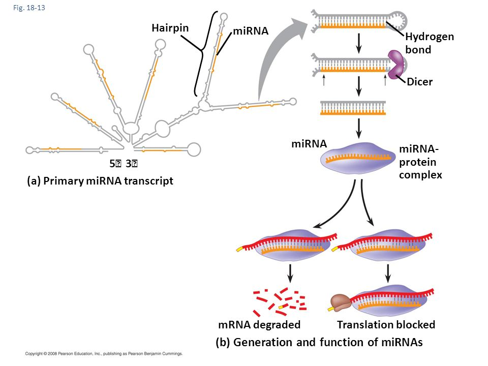 (b) Generation and function of miRNAs