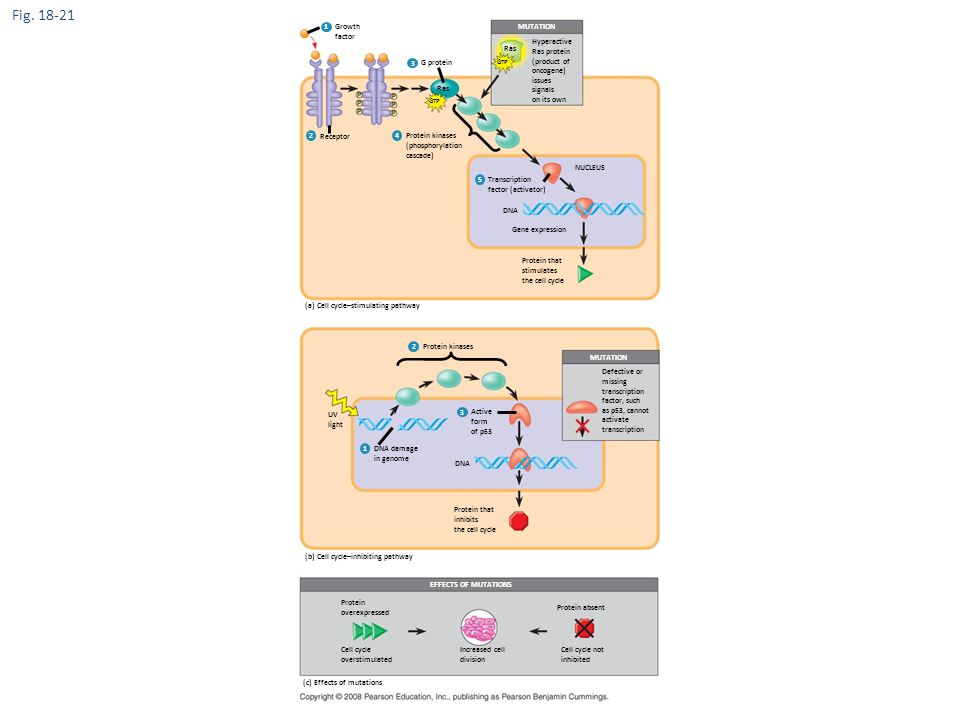 Figure 18.21 Signaling pathways that regulate cell division